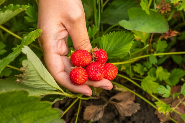 Rijpe aardbeien in een vrouwelijke hand tegen een achtergrond van gebladerte. kopieer ruimte