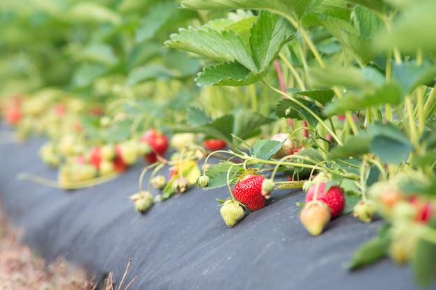 Rijpe aardbeien op de boerderij