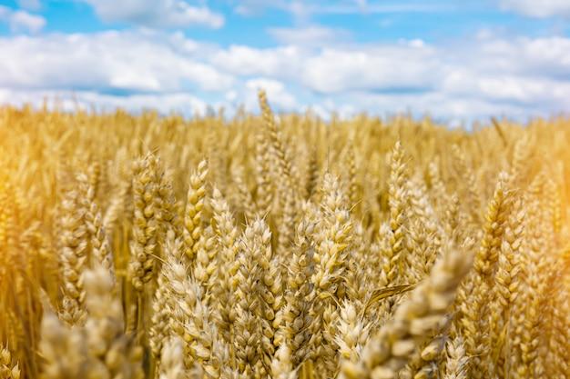 Rijpe aartjes van tarwe op een achtergrond van blauwe hemel