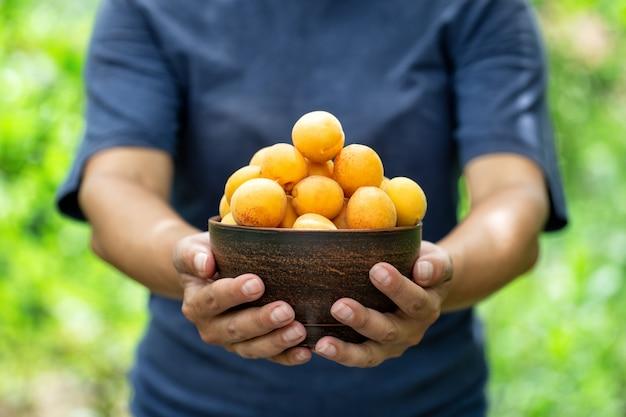 Rijpe abrikozen in bruine kleiplaat in de uitgestrekte handen van de landbouwersvrouw