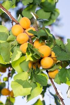 Rijpe abrikozen in de schaduw van een boom
