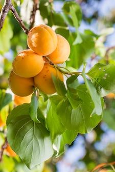 Rijpe abrikozen op een boomtak