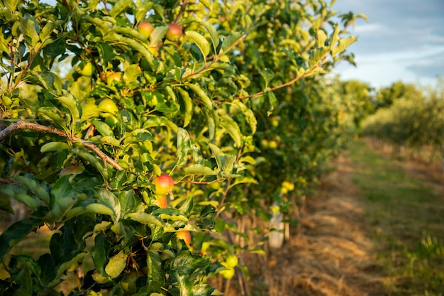 Rijpe appel in de tuin op een boomtak.