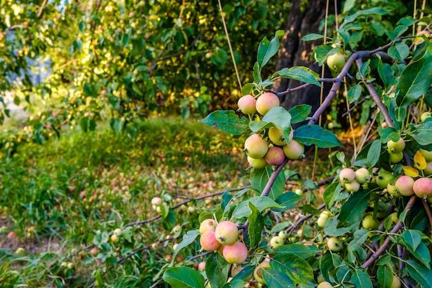 Rijpe appels op een tak milieuvriendelijk oogstconcept zomer eindigt heerlijk zoet biologisch fruit geteeld...