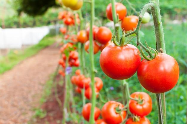 Rijpe biologische tomaten in tuin klaar om te oogsten, verse tomaten