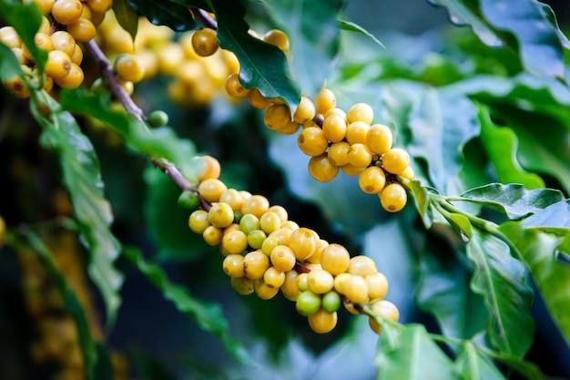 Rijpe braziliaanse gele bourbon koffieboom