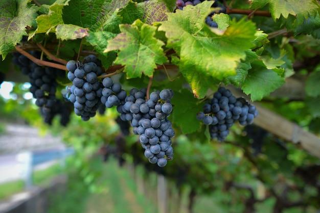 Rijpe donkere druiven voor wijn op een wijnstok met groen blad in een italiaanse wijngaardtuin