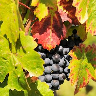 Rijpe druivenranken wachten op de oogst in frankrijk