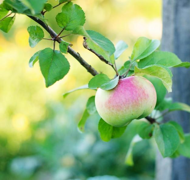 Rijpe een appel op boom in boomgaard