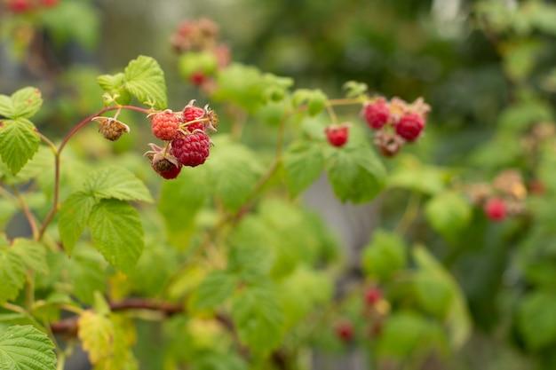 Rijpe en onrijpe frambozen in de fruittuin. frambozenstruik in de zomerdag met vage natuurlijke achtergrond. ondiepe scherptediepte.