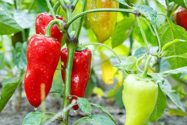 Rijpe en onrijpe paprika met waterdruppels groeien op struik in de tuin. bulgaarse of paprikaplant. ondiepe scherptediepte.