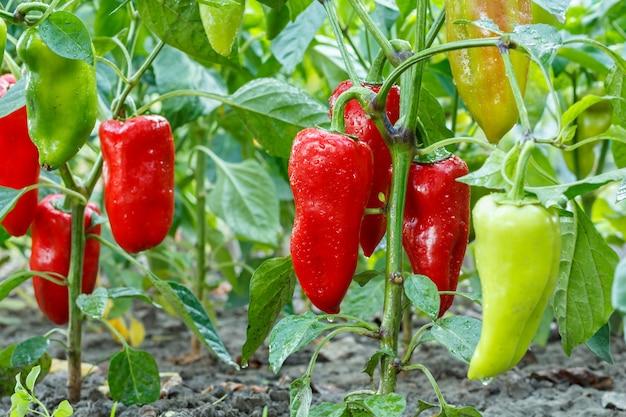 Rijpe en onrijpe paprika's met waterdruppels groeien op struik in de tuin. bulgaarse of paprikaplant.