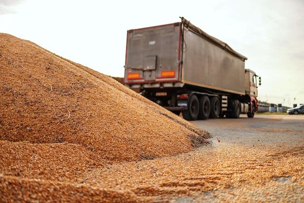 Rijpe en romp maïs op stapel voorbereid voor transport. op de achtergrond is een vrachtwagen.
