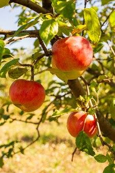 Rijpe en sappige rode appels die aan een boom worden opgehangen