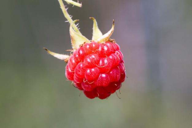 Rijpe framboos in de fruittuin. frambozenstruiken met bessen.