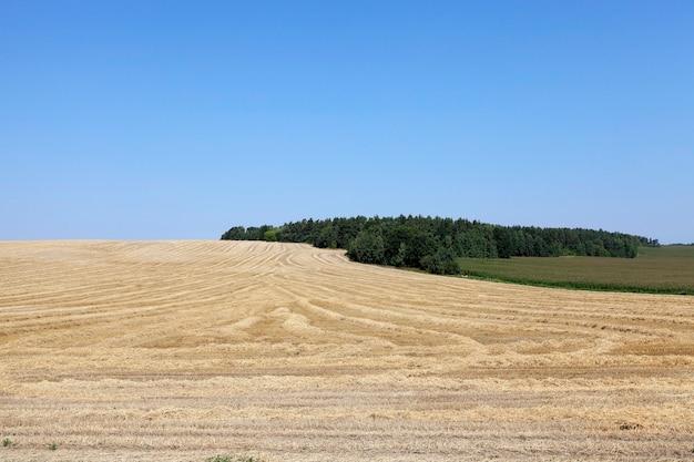 Rijpe gele granen - landbouwgebied waarop rijpe vergeelde granen groeien