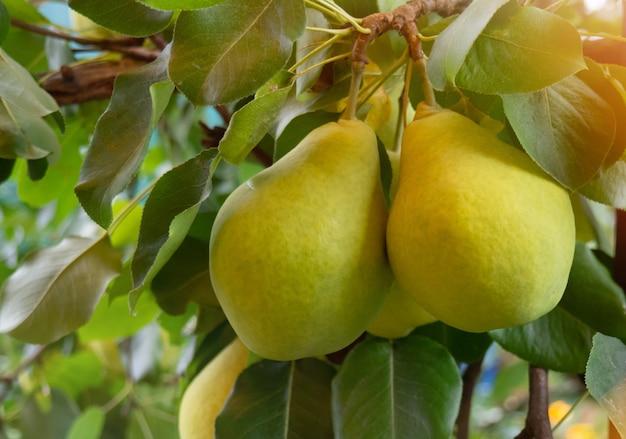 Rijpe gele peren hangen aan een tak met groene bladeren close-up en wazige achtergrond op een zomerdag. tuinieren en landbouwconcept