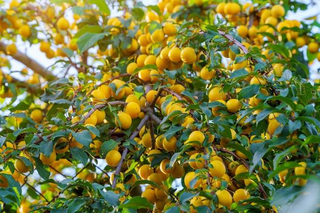 Rijpe gele pruimen op de fruitboom.