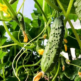 Rijpe groene komkommers augurken op struiken in kas in de zomer, oogsten