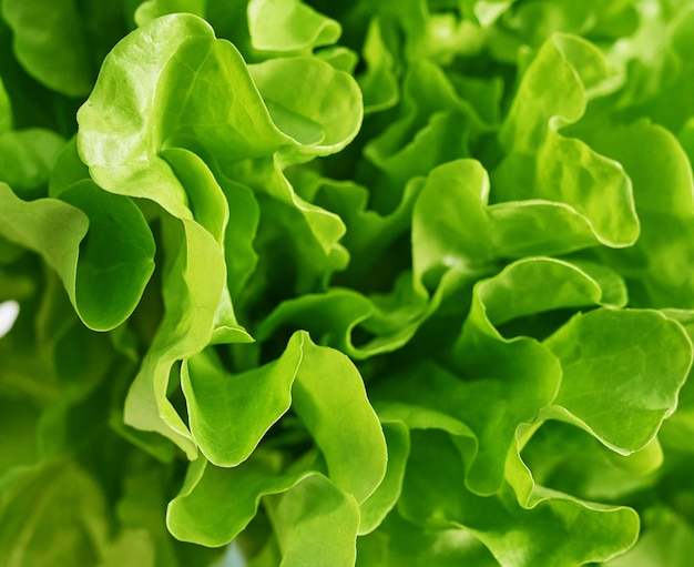 Rijpe groene kropsla. salade blad. groene botersla groente of salade. voedselconcept, hydrocultuur plantaardige bladeren. biologisch voedsel, landbouw. verse groenten achtergrond