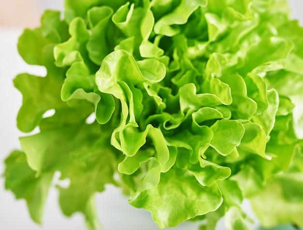 Rijpe groene kropsla. salade blad. groene botersla groente of salade. voedselconcept, hydrocultuur plantaardige bladeren. biologisch voedsel, landbouw. verse groenten.