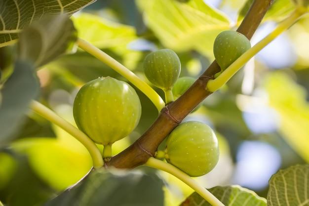 Rijpe groene vijgenvruchten op takken met groene bladeren