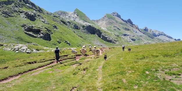Rijpe herdersmens met zijn troep van koeien op een landelijk weiland in het meer ossau van de bergpyrien in frankrijk