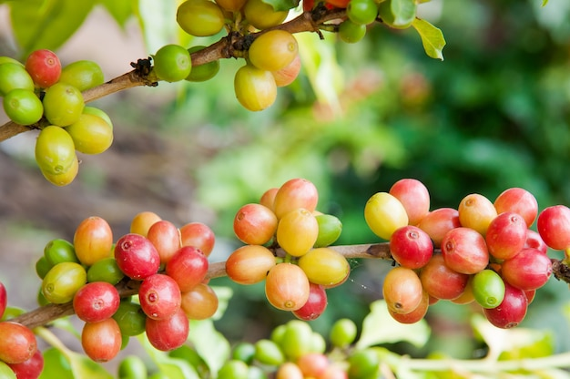 Rijpe koffieboon op boom, arabica koffiegewas op boomtak