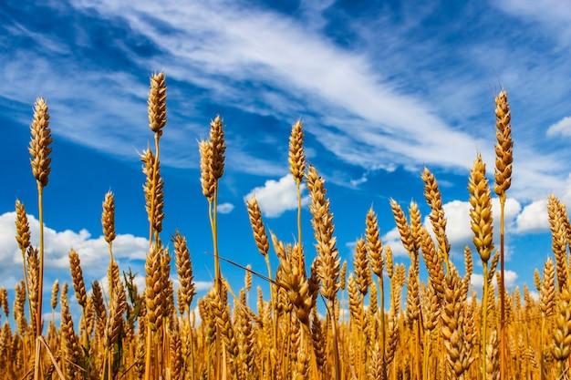 Rijpe korenaren tegen de blauwe hemel met wolken
