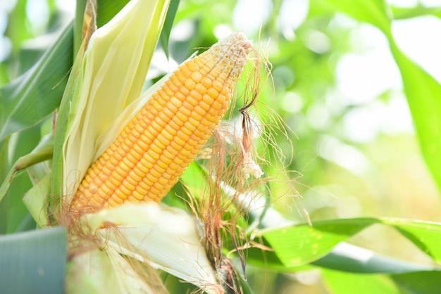 Rijpe maïskolf op boom wachten op oogst in maïsveld