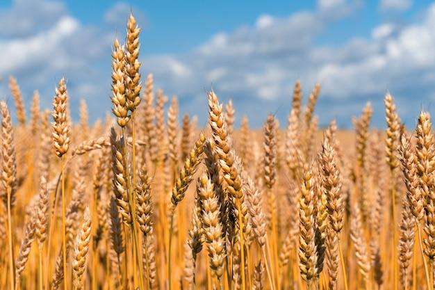 Rijpe oren van tarwe tegen blauwe hemel