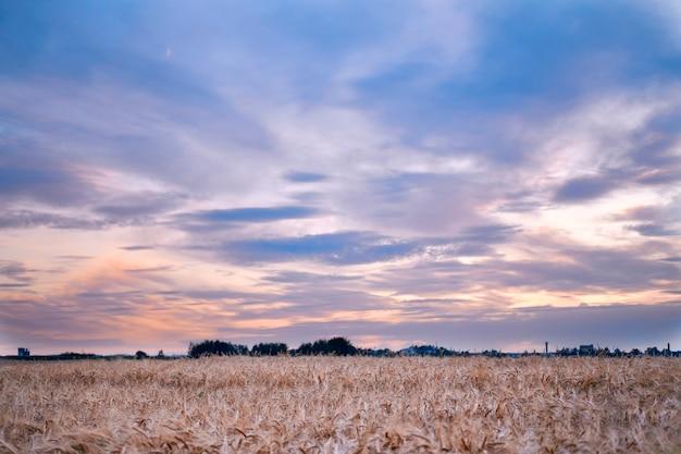 Rijpe oren van tarwehaver op een rijpe weide die door de zonsondergang van de de avondlucht van de zon wordt verlicht