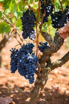 Rijpe paarse druiven met bladeren