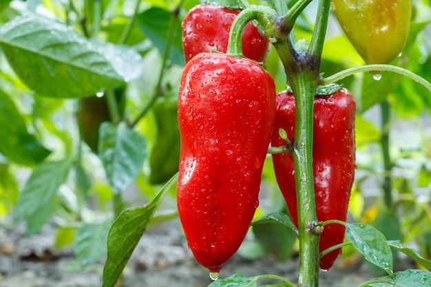 Rijpe paprika met waterdruppels die op het tuinbed groeien. bulgaarse of paprikaplant.