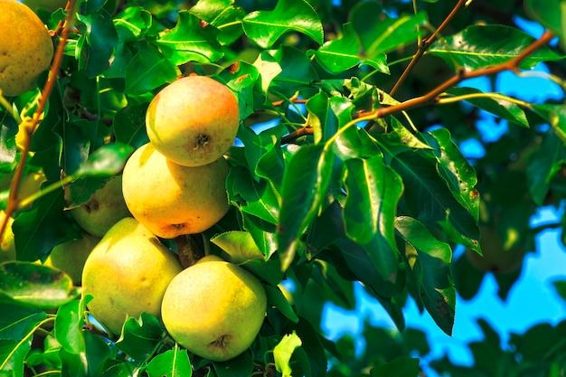 Rijpe peren hangen aan de boom tussen bladeren