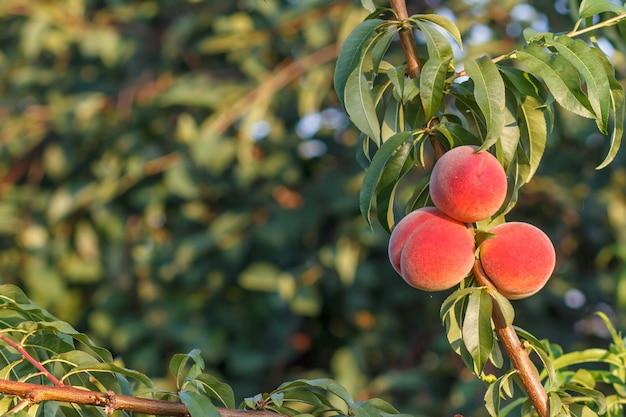 Rijpe perziken hangen aan de boom in de boomgaard. gezonde en natuurlijke voeding. ondiepe scherptediepte. focus op de perziken.