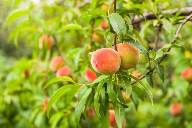 Rijpe perzikenvruchten op een tak in boomgaard