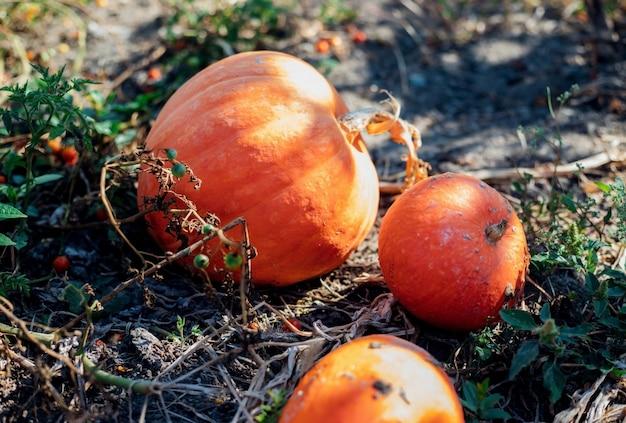 Rijpe pompoenen liggen op de grond in de tuin. herfst oogst. voorbereiding voor de viering van halloween. ronde oranje groente.