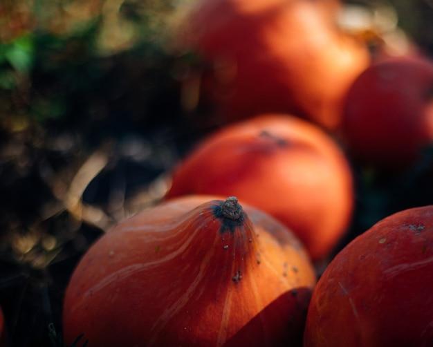 Rijpe pompoenen liggen op de grond in de tuin. herfst oogst. voorbereiding voor de viering van halloween.