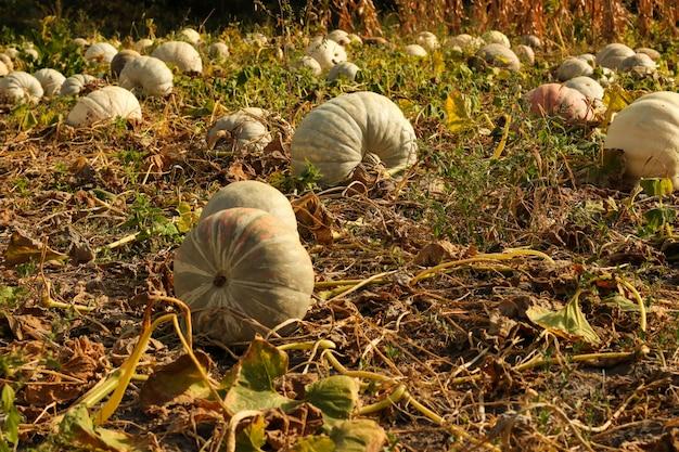Rijpe pompoenen zijn in de moestuin, oogsten pompoenen in de herfst, horizontale oriëntatie