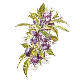 Rijpe pruim en tak met bloemen. pruim tekening aquarel geïsoleerd. aquarel botanische illustratie.