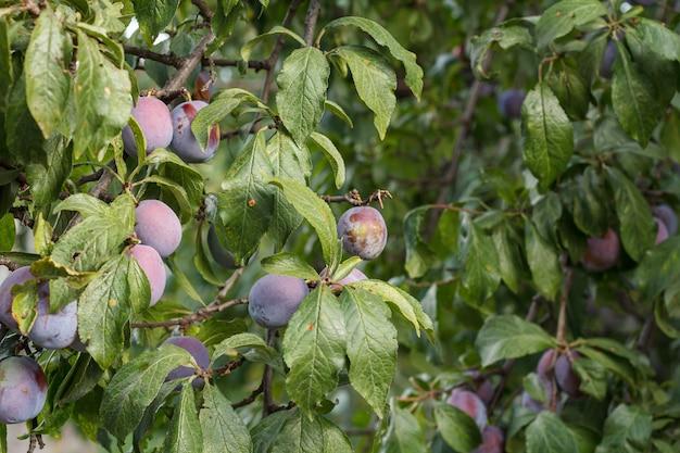 Rijpe pruimenvruchten aan een boom in de zomerorchade.