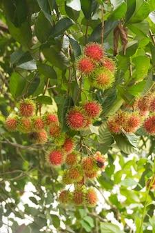 Rijpe rambutan-vruchten die op de boom hangen (nephelium lappaceum)