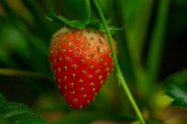Rijpe rode aardbei bedekt met kleine zaadjes omgeven door groene bladeren die groeien in de hedendaagse verticale boerderij of broeikas