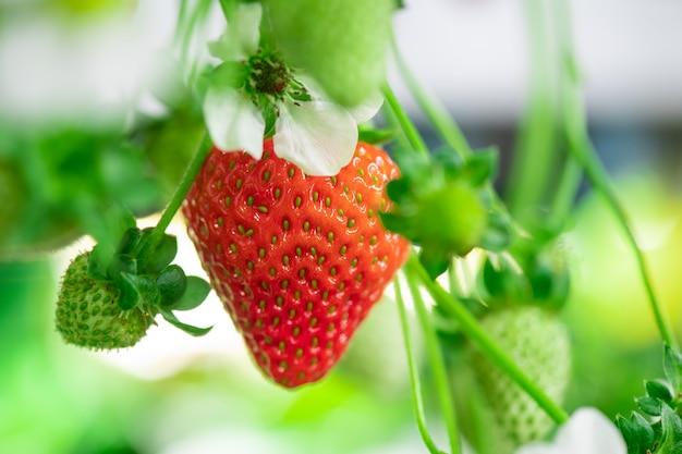 Rijpe rode aardbei omringd door witte bloemblaadjes en verschillende kleine groene bessen die aan de stengel hangen in de hedendaagse verticale boerderij