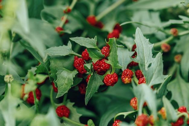 Rijpe rode bessen van blitum virgatum chenopodium foliosum