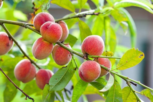Rijpe rode en gele perziken op tak