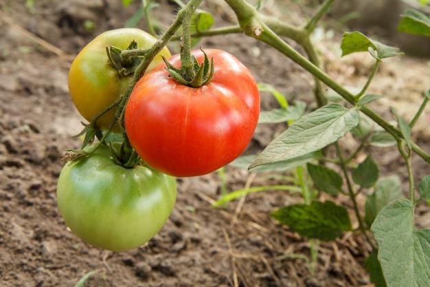 Rijpe rode en uripe-tomaten die op het tuinbed groeien. tomaten in de kas met de rode en groene vruchten. de tomaten op een tak met grond op de achtergrond. ondiepe scherptediepte.