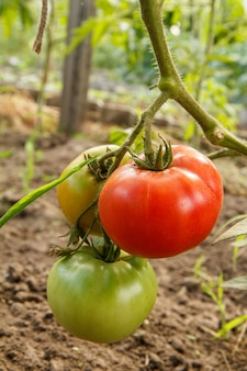 Rijpe rode en uripe-tomaten die op het tuinbed groeien. tomaten in de kas met de rode en groene vruchten. de tomaten op een tak. ondiepe scherptediepte.