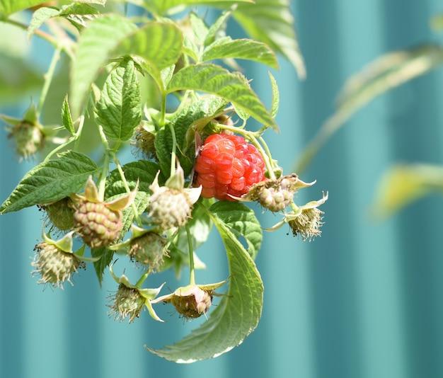 Rijpe rode frambozen groeien in de tuin